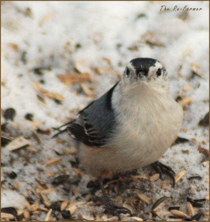 2018-01-20.whitebreasted.nuthatch1