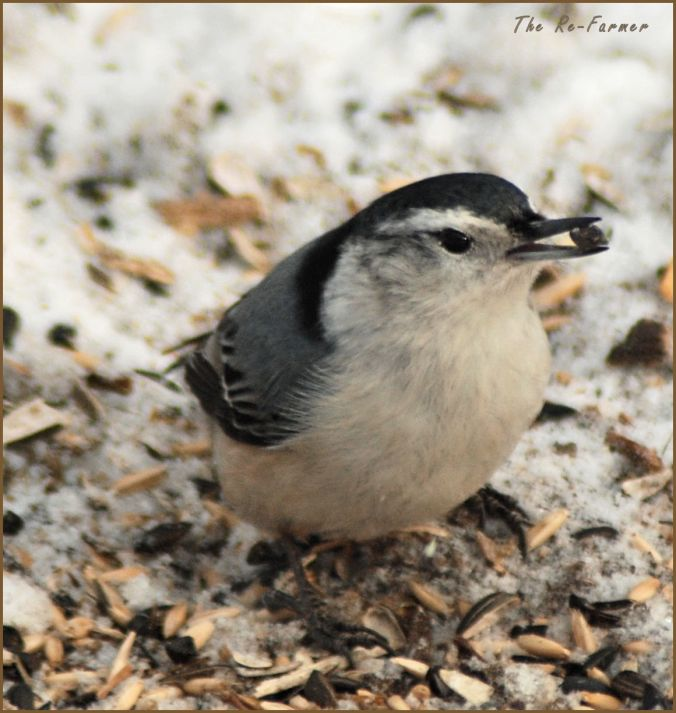 2018-01-20.whitebreasted.nuthatch2