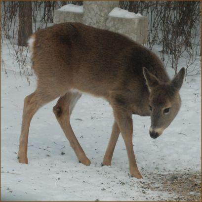 white.tail.deer.1