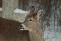 white.tail.deer.2
