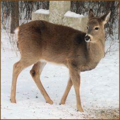 white.tail.deer.3