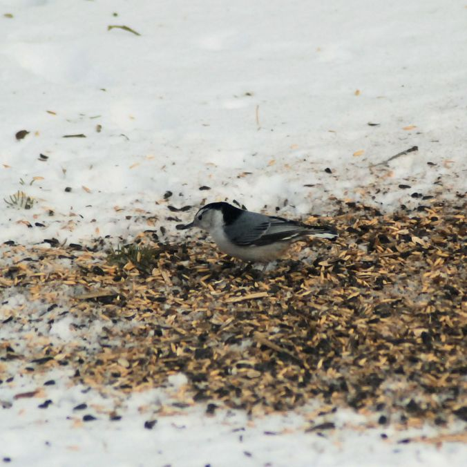 Nuthatch on the ground