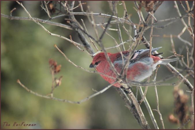 2018-02-16.male.pine.grosbeak