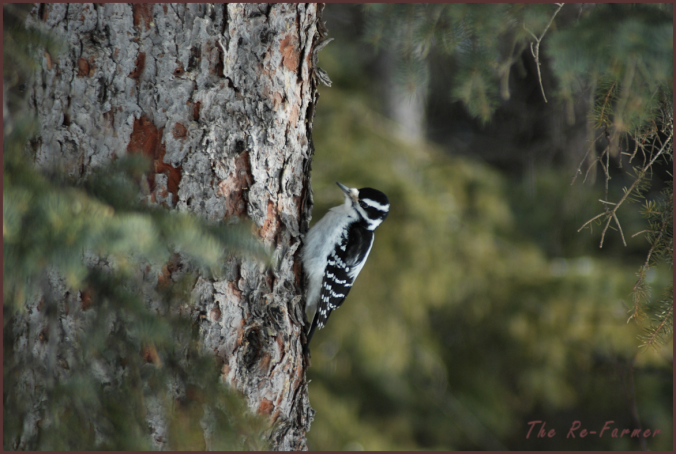 2018-02-16.woodpecker