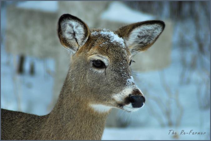 2018-02-17.whitetail.deer