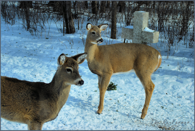 2018-02-18.two.whitetail.deer