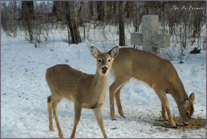 2018-02-28.2.whitetail.deer