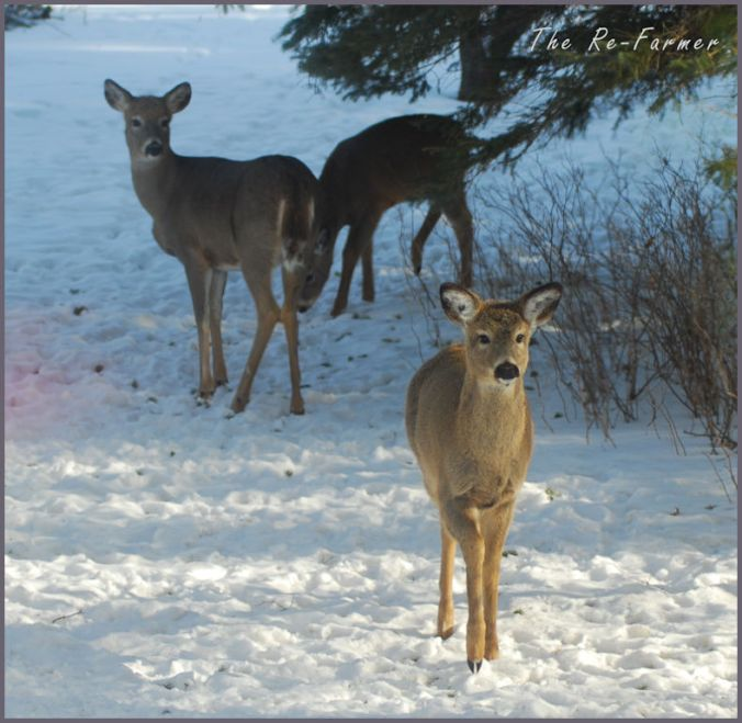 2018-02-28.whitetail.deer.mama.twins