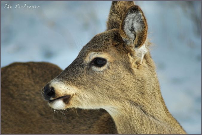 2018-02-28.whitetail.deer.profile