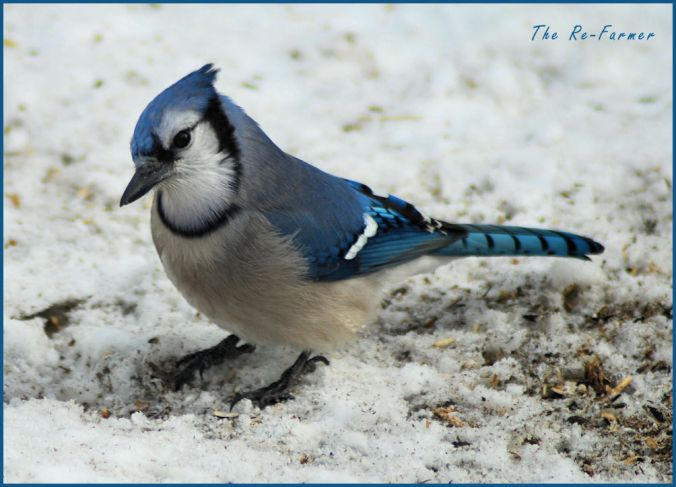 2018-03-03.bluejay.front