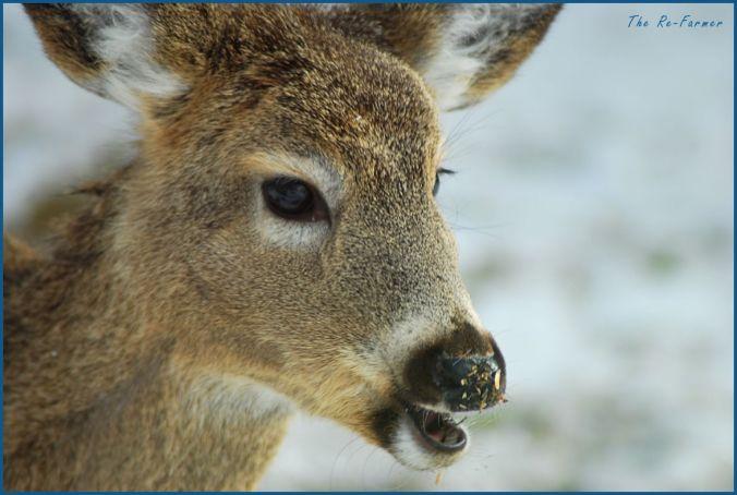 2018-03-03.whitetail.deer
