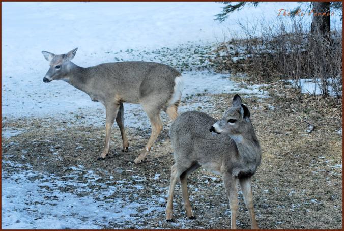 2018-03-30.two.deer2