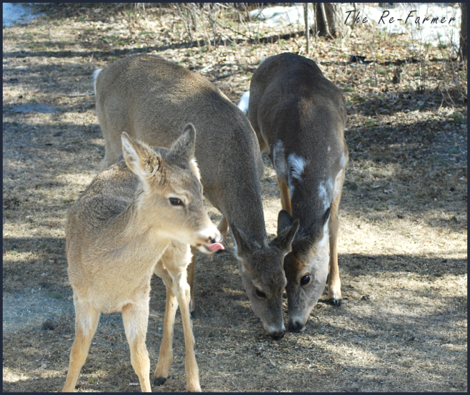 2018-04-11.piebald.deer.3