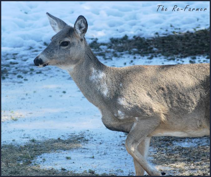 2018-04-11.piebald.deer.4