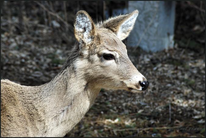 2018-04-17.deer1