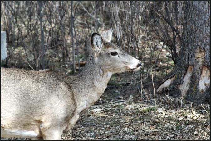 2018-04-17.deer2