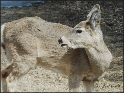 2018-04-18.deer