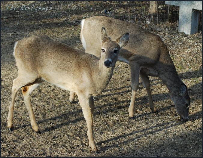 2018-04-21.two.deer