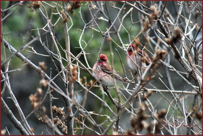 2018-04-22.male.redpoll