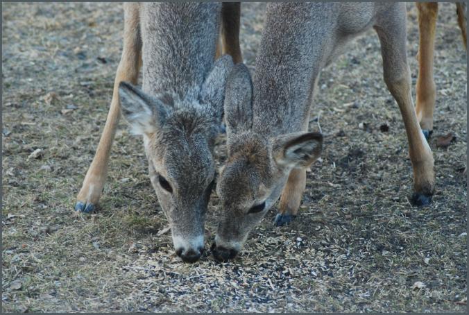 2018-04-24.deer.pair