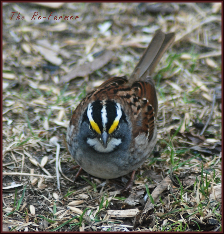 2018-04-30.white.throated.sparrow.male2