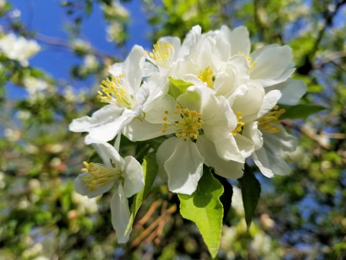 20180523.ornamental.apple.flowers