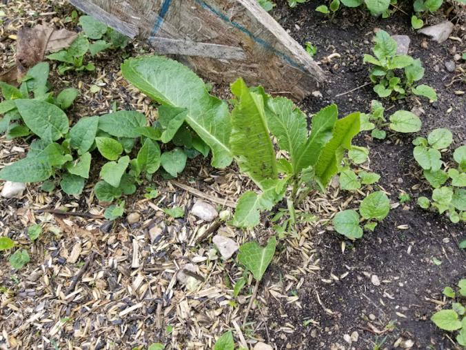 20180526.horseradish.flower.garden