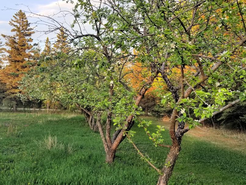 20180527.crabapple.trees