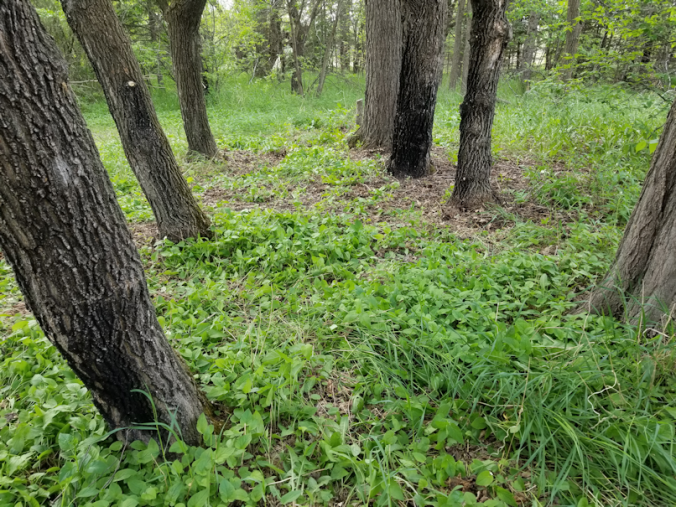 20180531trees.after.between.rows