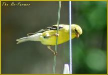 2018-06-15.goldfinch.feeder.wire