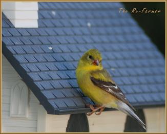 2018-06-18.female.goldfinch