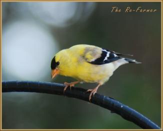 2018-06-18.male.goldfinch