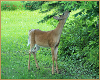 2018-06-18.whitetail.buck.eating