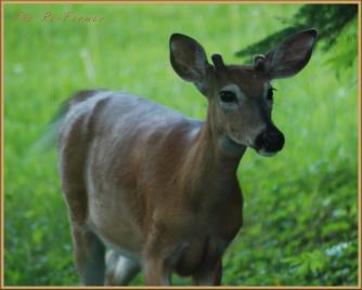 2018-06-18.whitetail.buck