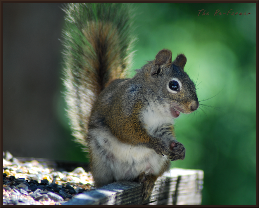 2018-06-24.squirrel.on.feeder