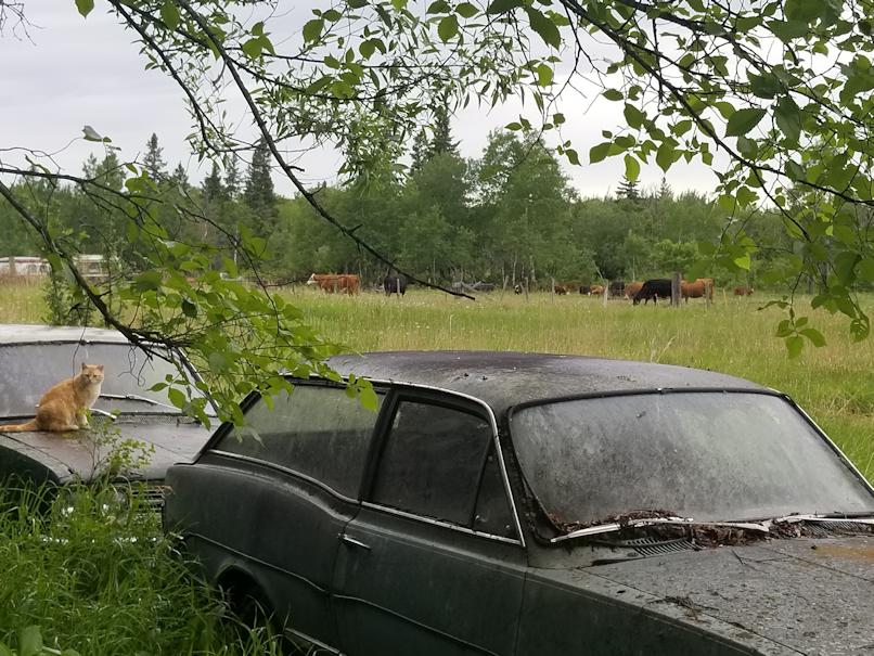 20180611.cows1