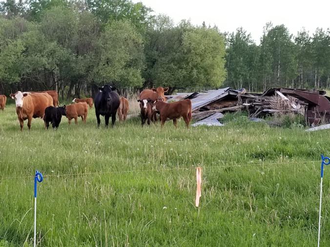 20180611.cows2