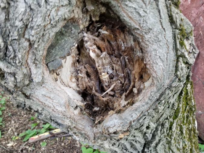 20180623.ant.damage.maple