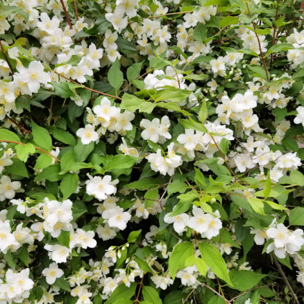 20180624.blooms.bush