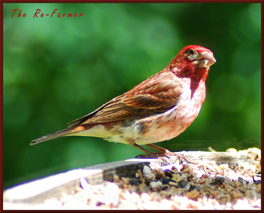 2018-07.purple.finch