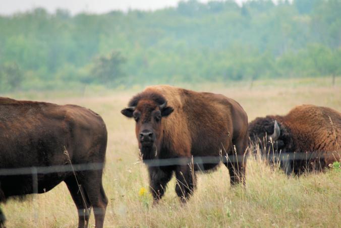 2018-08-16.adolescent.bison