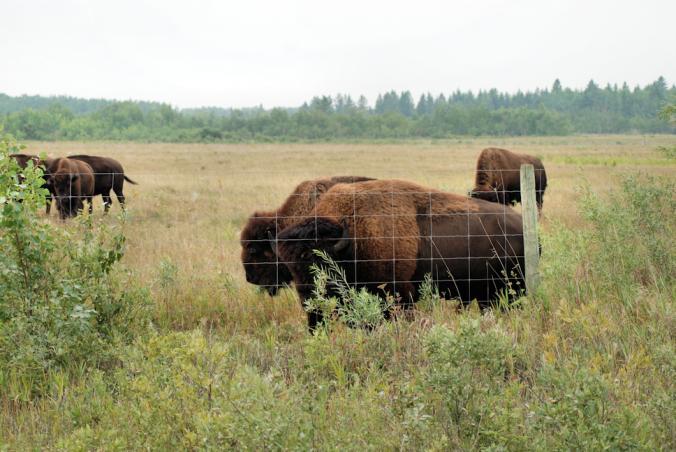 2018-08-16.bison.at.fence1