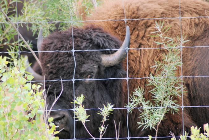 2018-08-16.bison.at.fence2