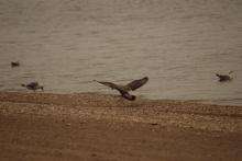 2018-08-16.landing.gull