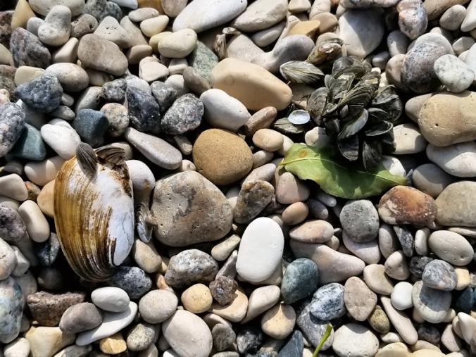 20180828.beach.zebra.mussels