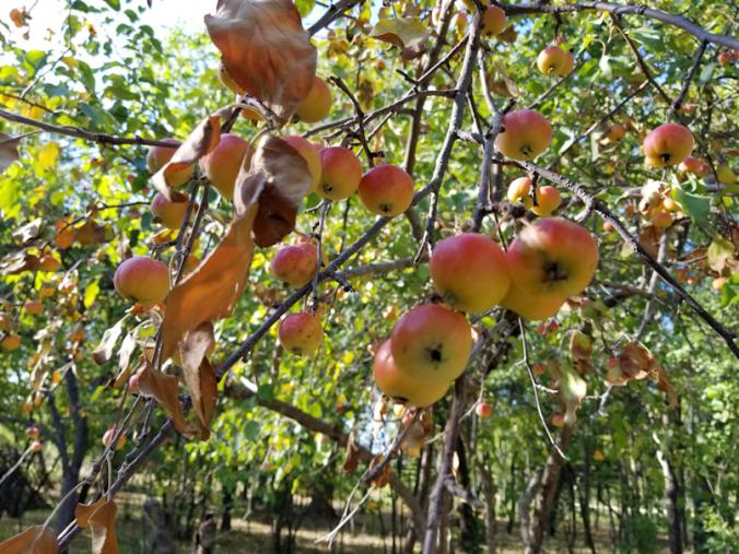 20180829.apples.loosing.leaves