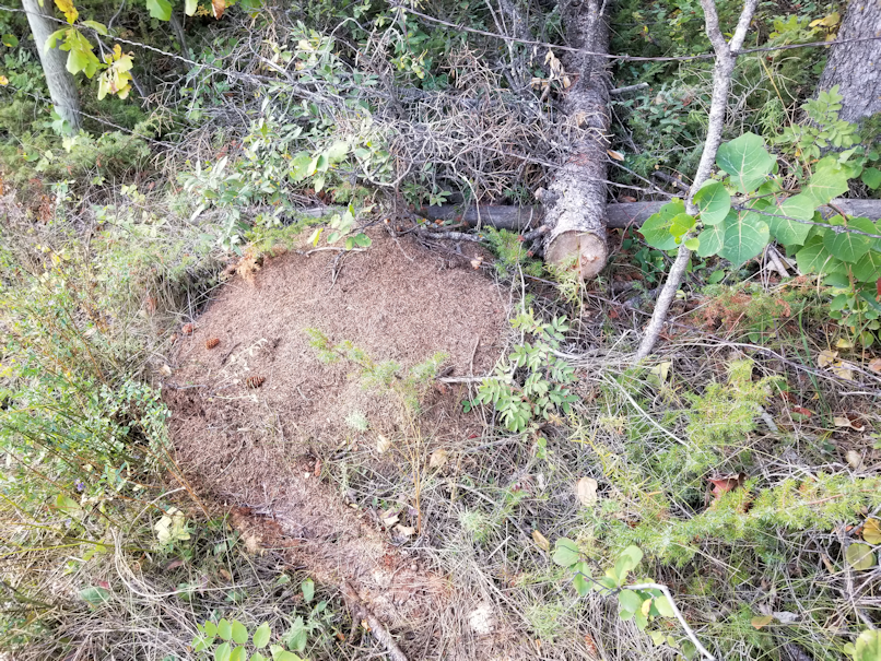 20180910.cleanup.sprucegrove.fenceline.during.dead.anthill