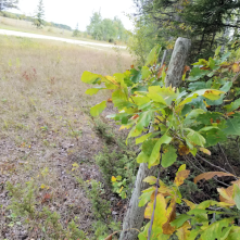 20180914.cleanup.sprucegrove.fenceline.2.during