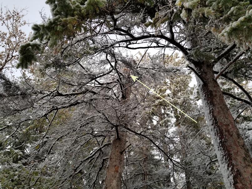 20181003.fallen.spruce.source