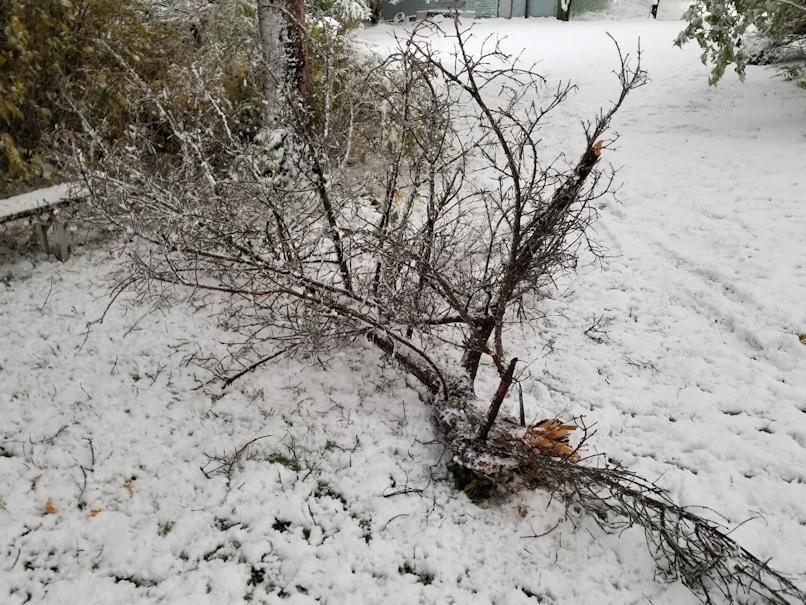 20181003.fallen.spruce